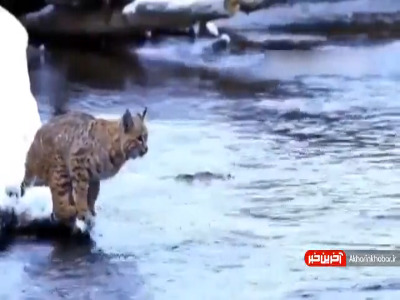 پرش حیرتانگیز گربه برای عبور از رودخانه!