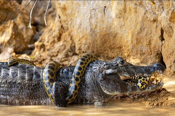 وقتی تمساح و مار آناکوندا به جان هم میافتند!