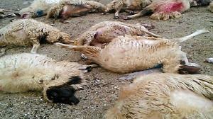 حمله گرگ به گله گوسفندان در روستای توده شیروان