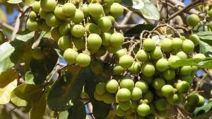 تولید صابون از میوههای درختی در هیمالیا