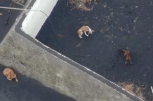 غذا دادن به سگهای محاصره شده در گدازههای آتشفشانی با پهپاد