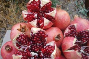 ۱۴۵۰ تُن انار از باغات آذربایجانغربی برداشت میشود