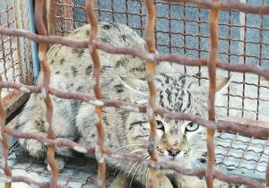 یک قلاده گربه وحشی در بجنورد زندهگیری شد