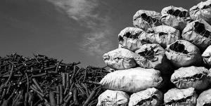 افزایش نگرانکننده قاچاق زغال در کهگیلویه