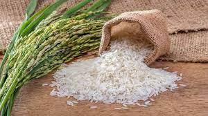برداشت برنج از شالیزارهای دورود