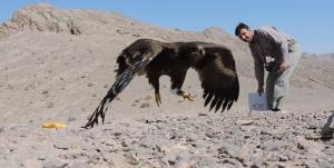 پرواز دوباره عقاب بومی و کمیاب ایرانی در آسمان البرز