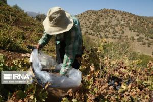برداشت انگور در باغات روستای سرنژمار