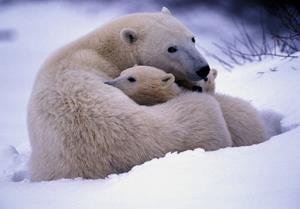 عاشقانههای خرس قطبی با تولههایش