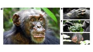 4 گوشه دنیا/ جذام، گریبان گیر شامپانزههای وحشی شد!