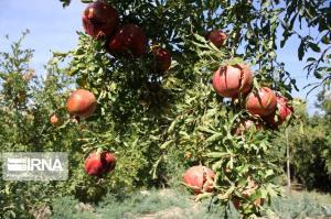 ۶۸۰۰ تن انار از باغ های قزوین برداشت میشود