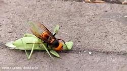 مبارزه مانتیس و زنبور سرخ آسیایی؛ کدوم برنده میشه؟
