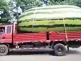 ببینید درون بزرگترین هندوانه جهان چه می گذرد؟