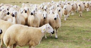 لحظه دلخراش برخورد تریلی با گله گوسفندان