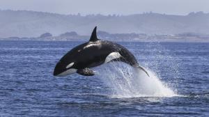 وقتی نهنگ با قایق انسان در دریا بازی می کند!