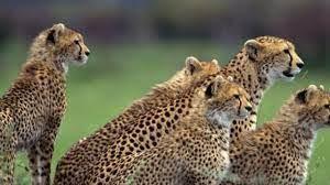 تلاش خانوادگی یوزها برای شکار تاپی