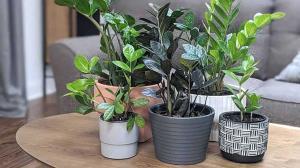 روش تکثیر گیاه زاموفیلیا