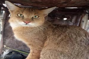 رها سازی یک قلاده گربه وحشی در شهرستان قلعه گنج