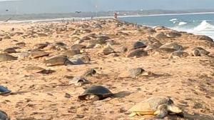 4 گوشه دنیا/ تولد یک لاکپشت دوسر نادر در آمریکا