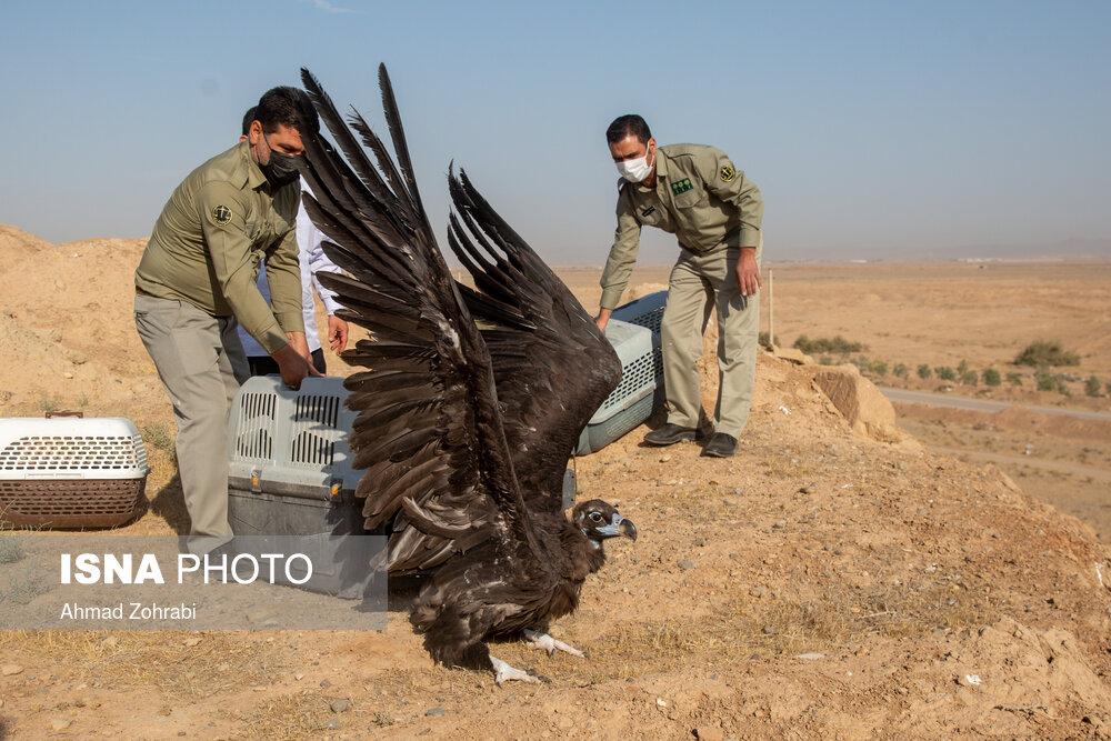 تیمار و رهاسازی پرندگان شکاری به آغوش طبیعت