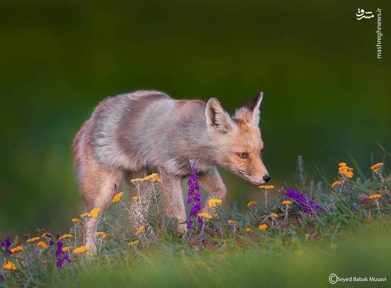 استشمام گل توسط روباه رمانتیک