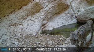 عکس/ دوربینها تصویر یک پلنگ را در دشتی شکار کردند