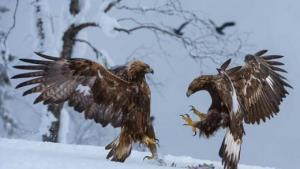دعوای عقابها بر سر ساختن لانه!