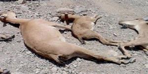 تلفات وحوش در سالوک اسفراین به ۲۱ رأس رسید