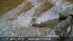 عکس/ ثبت تصویر از پلنگ در مناطق حفاظت شده بوشهر