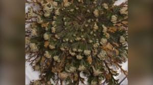 گیاهی که پس از خشک شدن دوباره سبز میشود