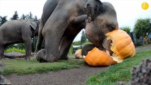 وقتی فیلها به جان کدوتنبلها می افتند!