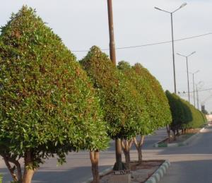 هشدار علومپزشکی اهواز در خصوص هرس درختان کنوکارپوس