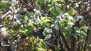 شکوفه دادن درخت آلوچه در فصل پاییز کاشان