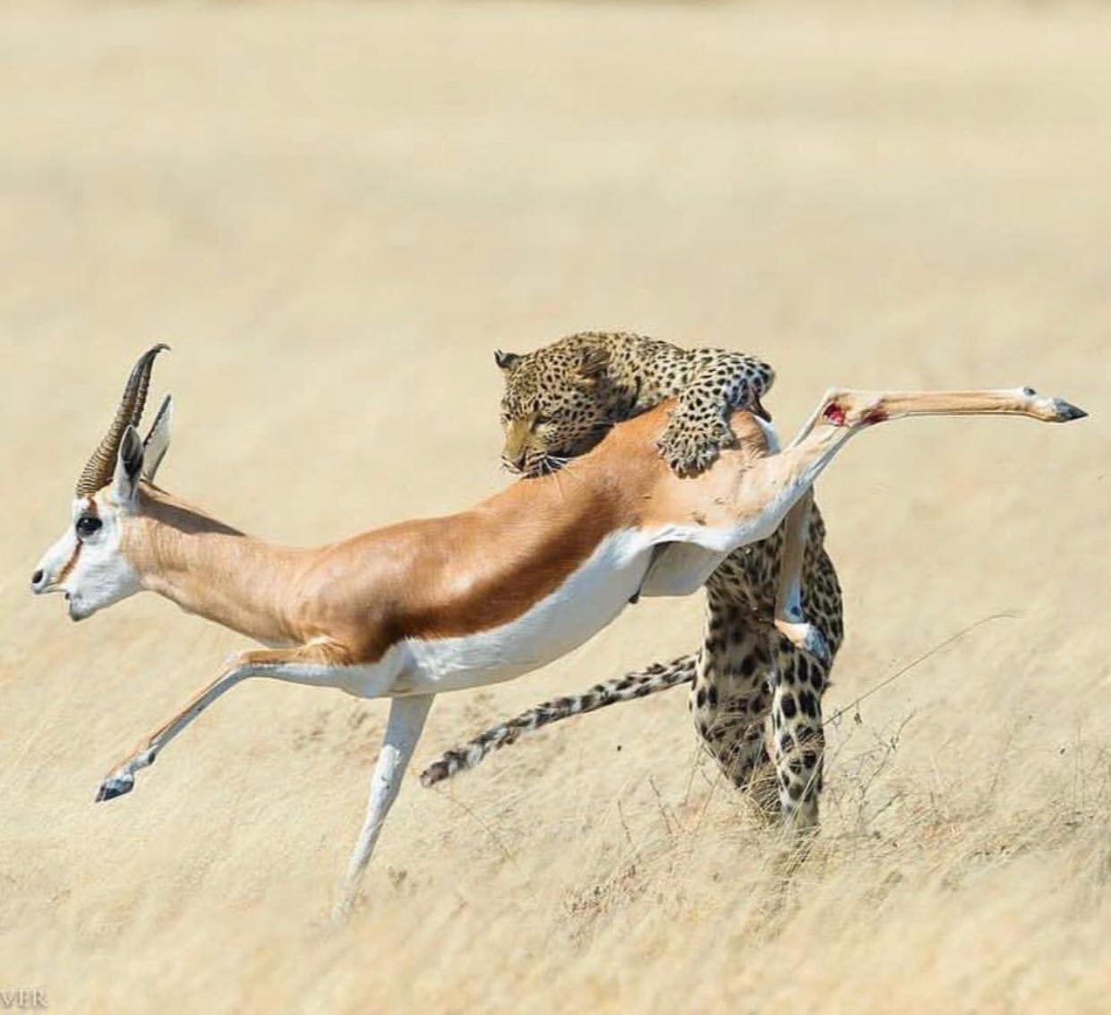 لحظه شکار ناگهانی غزال توسط پلنگ!