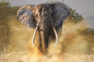 فیلِ مادر، تمساح مهاجم به فرزندش را زیرلگدهایش له کرد!