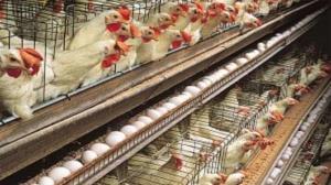 تخم مرغ در خراسان جنوبی خیال ارزانی ندارد