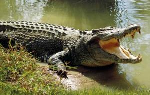 تمساح گرسنه دختر ۸ ساله را خورد!