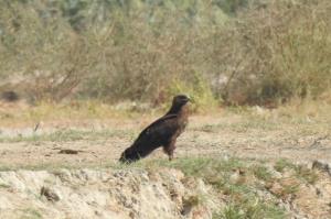 ثبت گونه کمیاب عقاب خالدار کوچک برای نخستین بار در خوزستان