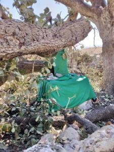 درخت ۵۰۰ سالهای که بیدلیل در لنده قطع شد