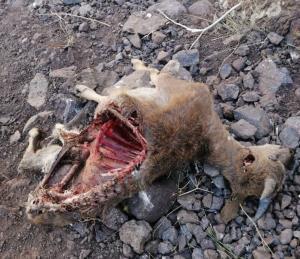 مرگ و میر وحوش در خراسان شمالی ادامه دارد