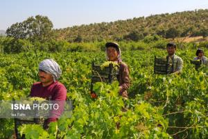 پیشبینی برداشت بیش از ۳۰۰ هزار تن انگور در خراسان رضوی