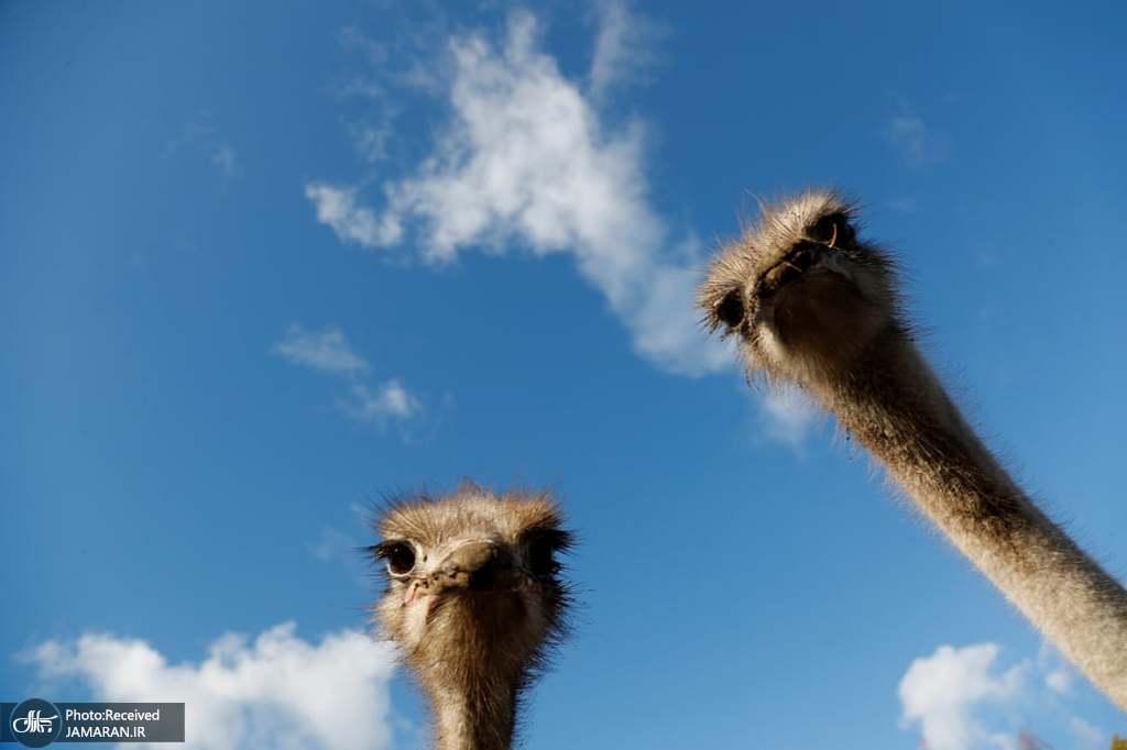 عکس سلفی شترمرغها!