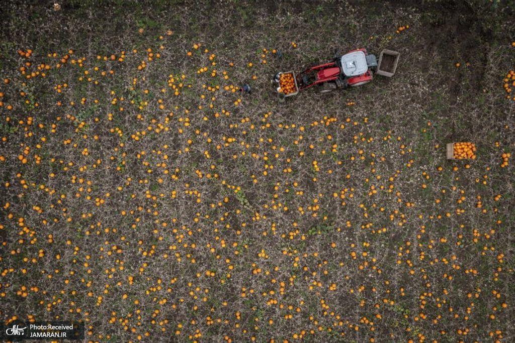 نمای هوایی از مزرعه بزرگ کدو تنبل در دانمارک