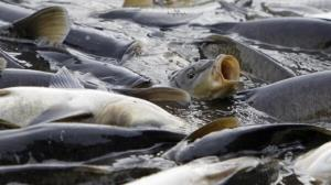 ۲ هزار قطعه ماهی در رودخانه سیران بند بانه نجات یافتند