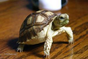 راه رفتن سرعتی لاکپشتها رو دیده بودین؟!