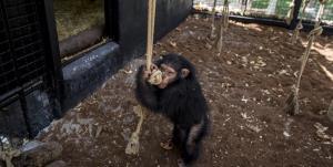 «باران» وارد اجتماع شامپانزهها شد
