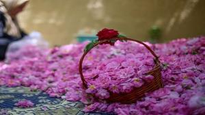 تولید سالیانه ۴ هزار تن گل محمدی در کردستان
