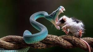موش گرفتن به کمک مار!
