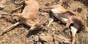 افزایش آمار تلفات طاعون نشخوارکنندگان کوچک در البرز