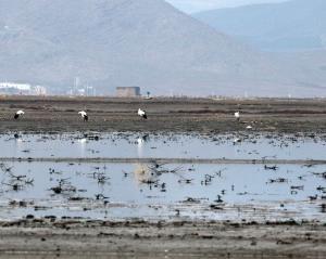 پرندگان مهاجر در تالابهای استان همدان فرود آمدند