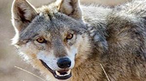 حمله گرگ به دامهای اهلی در اسفراین ۱۵۰ میلیون ریال خسارت زد